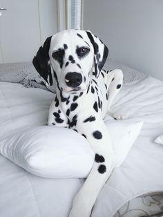 Dalmatian puppy @viljodalmatian