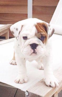 English Bulldog puppy Will always be my first ❤️