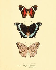 Colorful Butterfly art print poster antique prints Nature print Natural History…