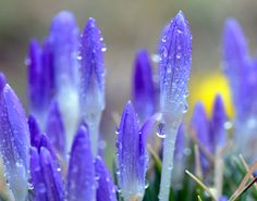 Crocuses are covered with raindrops, Feb. 28, 2012 in Dresden, eastern Germany. The first signs of spring bloom across the country. (Matthias Hiekel/AFP/Getty Images)