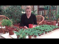 Петуния, выращиваем без ошибок. Часть5 - YouTube