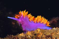 The Spanish shawl nudibranch, a beautiful sea slug, can be found off the west coast of North America and further south.