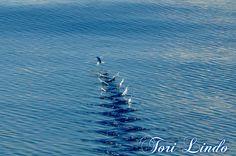 Bermuda Flying Fish