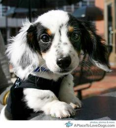 widdle doxie- so very cute!