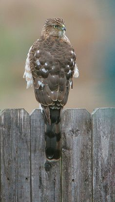 Cooper's Hawk -  saw one of these on my backyard fence today.  He was checking out my bird feeder.