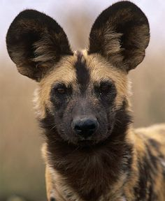 African Painted Dog, they are the most beautiful animals! I just adore them and hyenas. < 3