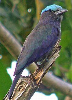 Purple-winged Roller (Coracias temminckii)