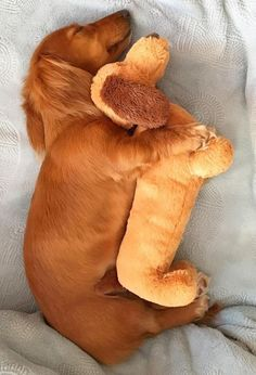 Cute Dogs And Puppies, Cutest Dogs, Funny Dachshund, Sleeping Dogs, Funny Cute, Baby Photos, Mini, Dog Lovers, Dinosaur Stuffed Animal