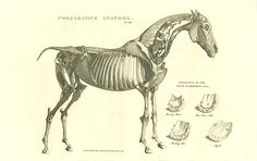 Antique print: picture of Comparative anatomy - horse - #horse #anatomy