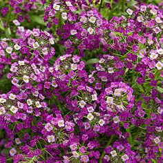 Sweet alyssum 'Dark Knight' Sweet alyssum has always been prized for its ability to bloom during cool spring or fall weather. But with the introduction of 'Dark Knight', all that has changed. This little beauty is heat-tolerant so it will flower right through the summer, no matter what the temperature. 'Dark Knight' also produces masses of small rose-purple, fragrant flowers that are attractive to bees and butterflies.