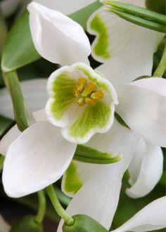 #Flowers | #flower | #Orchid #Snowdrop