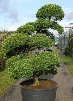 juniperus media mint julep bons 80 100 c80 arbres nuage. Black Bedroom Furniture Sets. Home Design Ideas