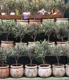 sale, Aix en Provence olive trees for sale, Aix en Provence Olive Trees For Sale, Olivier En Pot, English Garden Design, Home And Garden Store, Topiary Trees, Garden Planters, Native Plants, Garden Inspiration, Houseplants