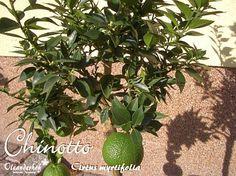 Chinotto - Cirtus myrtifolia
