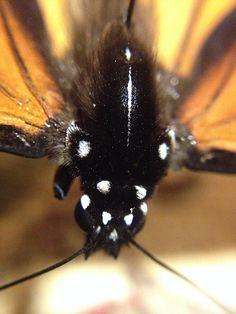 """""""Monarch Butterfly Top of Head"""" photo by Allison Britten"""