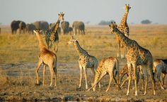 Giraffengruppe im Chobe National Park. Chobe National Park, National Parks, Giraffe, Safari, Animals, Wilderness, Round Trip, Viajes, Giraffes
