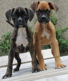 Boxer puppies rock....