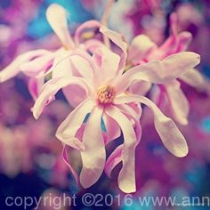 My Oh My Magnolia, limited edition fine art print by Anna Porter digital photography ~ 20 x 20