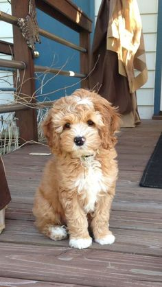 Havanese Read more at: https://www.vetary.com/dog/breeds/havanese #Havanese