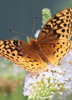 Fritillary Butterfly by Linda Crockett