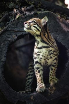 Leopardus pardalis by Claudia Rocchini, via Flickr Ocelot (Leopardus pardalis) The Ocelot inhabits the forests and scrublands of Mexico, Central America, and northeastern South America.: