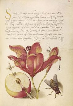 Joris Hoefnagel (illuminator) [Flemish / Hungarian, 1542 - 1600], and Georg Bocskay (scribe) [Hungarian, died 1575], Insects, Orange Lily, Caterpillar, Apple, and Horse Fly, Flemish and Hungarian, 1561 - 1562; illumination added 1591 - 1596, Watercolors, gold and silver paint, and ink on parchment, Leaf: 16.6 x 12.4 cm (6 9/16 x 4 7/8 in.), 86.MV.527.92.