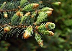 Med z mladých výhonků smrků Pine Cones, Aloe Vera, Fruit, Plants, Food, Syrup, Eten, Planters, Meals
