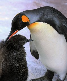 Aww, I love penguins! King Penguin, Emperor Penguin, Penguin S, Foster Care Adoption, Foster To Adopt, Foster Parenting, Kids And Parenting, Foster Family, Foster Kids