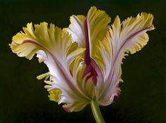 Parrot Tulip Oil by Jayne Willis Taylor
