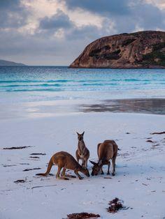 Kangaroos on the beach, Lucky Bay, Cape Le Grand National Park, Australia.