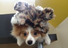 """Dog faux fur jacket with ears attached to the hood.  Maximum fashionista!!!!  Available in """"snow tiger"""" and """"leopard"""" patterns.  $24.99.  See this item and more at www.fetchdogfashions.com #dog #puppy #puppies #dogproducts #products #puppyproducts #smallbusiness #smalldogs #entrepreneur #designer #fashion #fashionista #dogclothing #dogjacket #dogoutfit #style #stylishdog #cutedog #dogfashion #Pomeranian #fauxfur"""