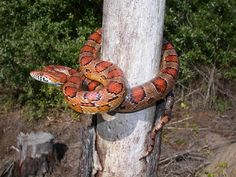 Red Cornsnake - Pantherophis guttatus - Snake of the Day Photo by JD Willson