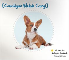 "Did you know the Cardigan Welsh Corgi is the older of the two Corgi breeds and is sometimes better known as ""the Corgi with the tail?"" Read more about this breed by visiting Petplan pet insurance's Condition Checker!"