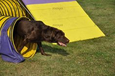 Chocolate Labrador Retriever Leaving Yellow Tunnel at Dog Agility Trial