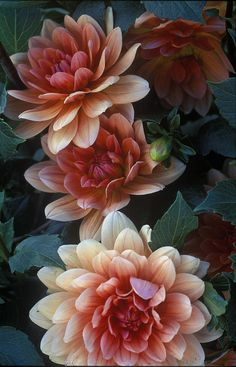 ✯ Dahlias this would make an amazing watercolor dahlia tattoo base