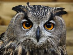 EAGLE OWL | Eurasian Eagle Owl pictures wallpapers images photos | Pictures of ...