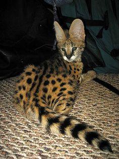 Serval Kitten by FuzzyButt, via Flickr