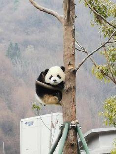 Happy Panda, Panda Love, Cute Panda, Bird Pictures, Animal Pictures, Cute Baby Animals, Animals And Pets, Bear Totem, Bear Wallpaper