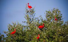 Necker animals: Scarlet Ibis