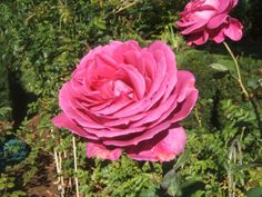 Easy tips on how to prune roses with Sensible Gardening and Living