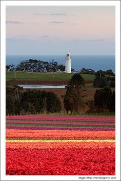 Tulip Fields, Wynyard, Tasmania, Australia Visited Wynyard and the tulip fields often as a kid. Great Places, Places To See, Beautiful Places, Beautiful Flowers, Tasmania, To Infinity And Beyond, Australia Travel, Strand, Wonders Of The World