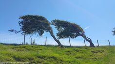 """""""Wind driven"""" - This is what happens to poor trees in Borth,Ceredigion,Wales. 