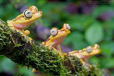 "derangedbutterfly: "" Imbabura Treefrog (Hypsiboas picturatus) by Lucas M. Bustamante on Flickr. """