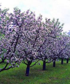 Omenapuut kukkii Lohjansaaressa