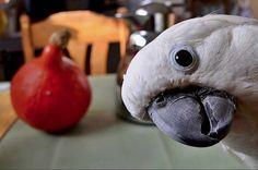 Cacatua bianco - White Cockatoo - Cacatua alba
