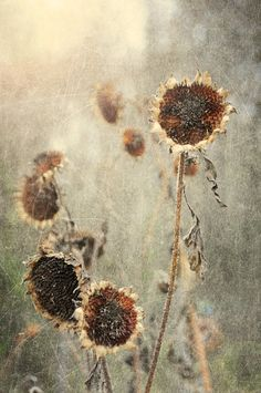Dried sunflowers in the light Dried Sunflowers, Seed Pods, Wabi Sabi, Autumn Leaves, Nature Photography, Seeds, Seasons, Fall, Beauty