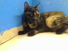 URGENT! ON NYCACC TUES., JUNE 11, 2013 EUTHANASIA LIST! 8 year old ANGIE went in with 4 year old VENUS and they need out of NYCACC NOW!!! Manhattan Center ANGIE-ID#A0965893 I am an unaltered female, tortie Domestic Shorthair.The shelter staff think I am about 8 years old.I weigh 6 pounds.I was found in NY 10451.I have been at the shelter since May 19, 2013 FEMALE, TORTIE, DOMESTIC SH,8 yrs STRAY-STRAY WAIT, NO HOLD Reason STRAY Intake condition ILLNESS Intake Date 05/19/2013 From NY 10451 I ...