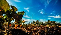 How a Football Field Farm Helped Bring Back a Struggling College At We Over Me Farm in Dallas, Texas, a losing team was replaced by a thriving vegetable operation. - See more at: http://civileats.com/2015/02/26/how-a-football-field-farm-helped-bring-back-a-struggling-college/#sthash.0TUbHTbr.dpuf Photo by Hannah Koski.