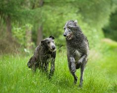 Duc and Finn, Scottish Deerhounds