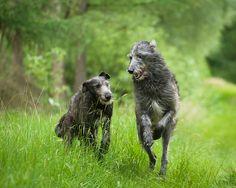 Duc and Finn, Scottish Deerhounds